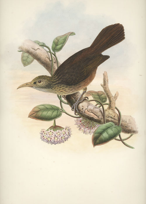 John Gould Sclater's Honey-eater, Meliarchus sclateri lithograph c1880