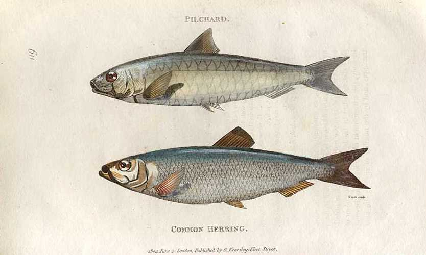 Fish. Pilchard and Common Herring. George Shaw engraving c1805