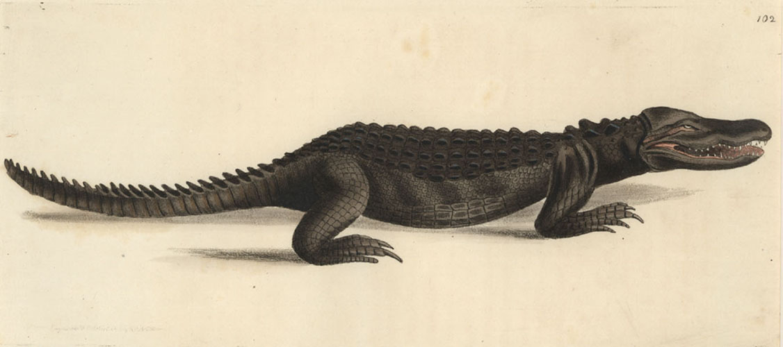 Cuverian Alligator exquisitely engraved by Nodder c1817