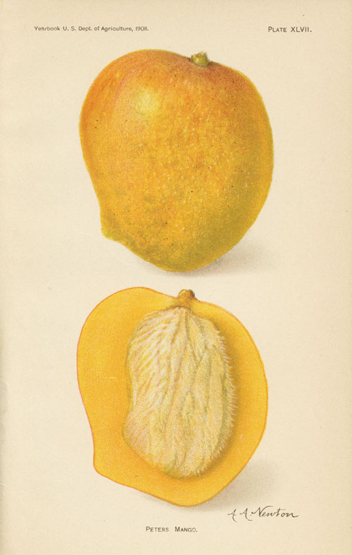 Peters Mango antique print by A.A. Newton c1908.