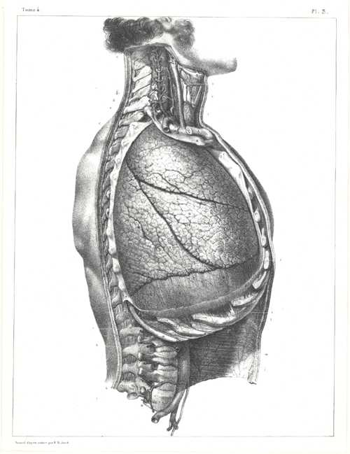 Torso Medical Anatomy. Anatomical Lithographic Drawing by N.H. Jacob c1850