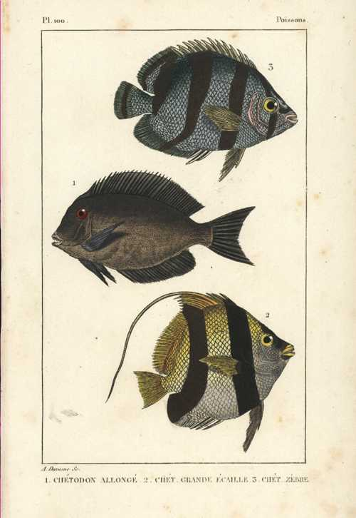 Tropical Fish. Poissons. Pl.100 Chetodon. Lacepede-Buffon c1830
