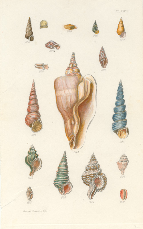 Beautiful little engraving of Mollusc shells by George Sowerby c1825.