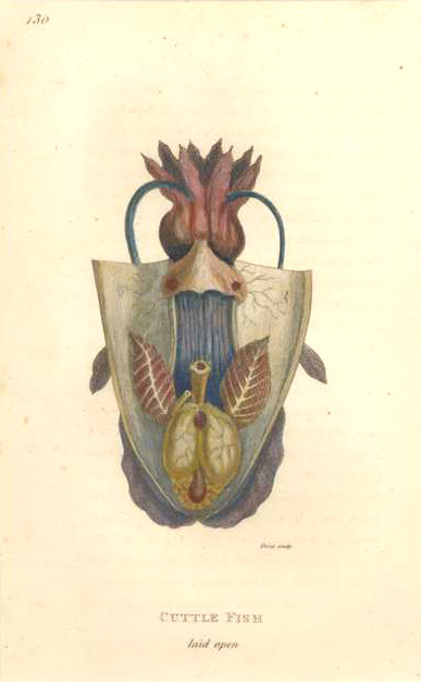 George Shaw Cuttle Fish laid open. Cuttle-fish engraving c1808
