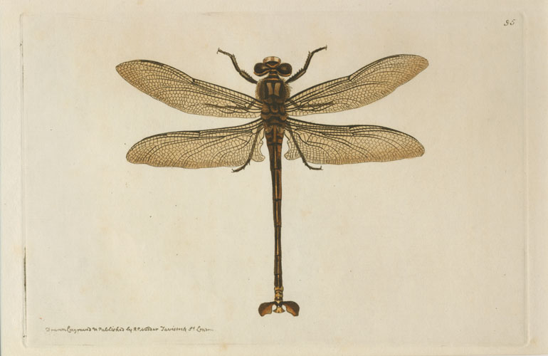 Australian Dragonfly. Nodder, Gigantic Petalure for George Shaw c1814