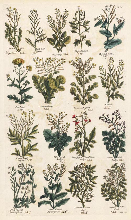 John Hill Herbal. 18th century hand-coloured engraving c1756
