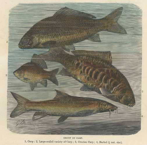 Fish. Antique print of Carp, Crucian Carp, Barbel. Lydekker c1894