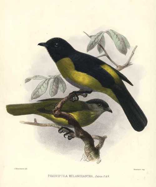 Keulemans lithograph of Phainoptila Melanonoxantha Flycatchers c1875