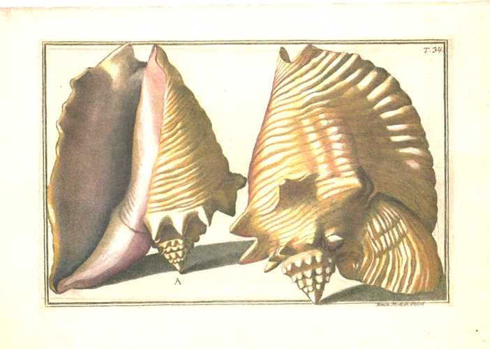 Gaultieri Shells Plate 34, small Conchology print