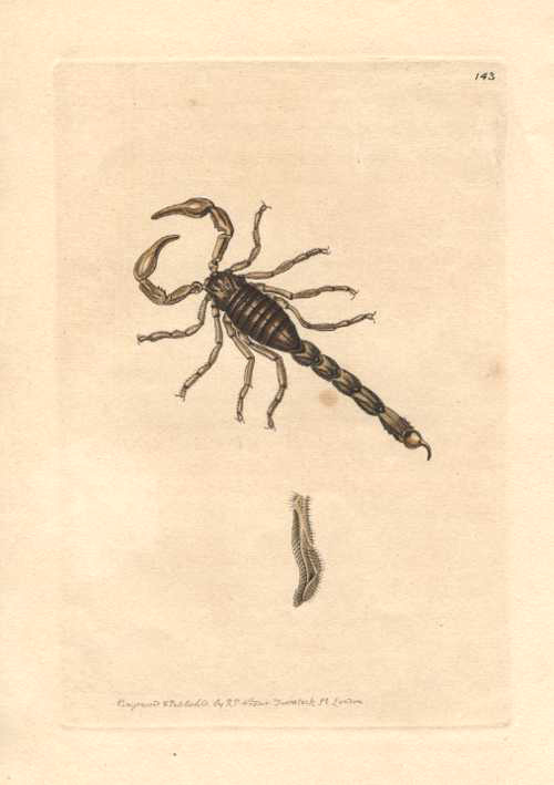 Australian Scorpion by R.P. Nodder for George Shaw c1814.