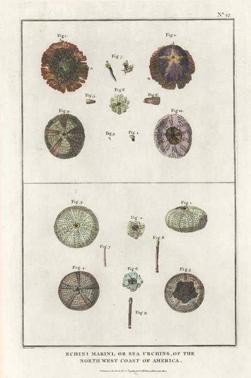 Sponges. Echini marini, or sea urchins. Prevost engraving c1798