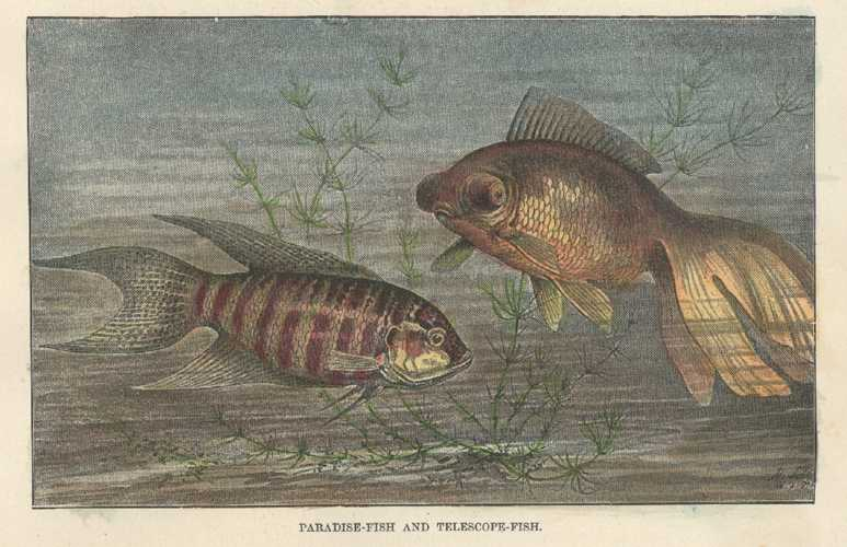 Fish. Paradise Fish and Telescope-Fish Antique Print. Lydekker circa 1894