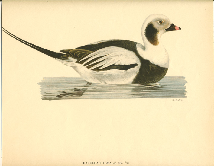 50%-off Long-tailed Duck Harelda Hyemalis lithograph c1926.
