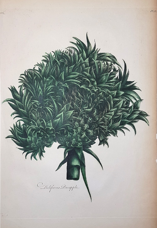 Proliferous Pineapple. Striking image by Sir John Hill c1770.