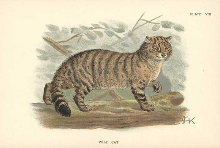 Keulemans Wild Cat lithograph. Lloyd's Natural History c1896