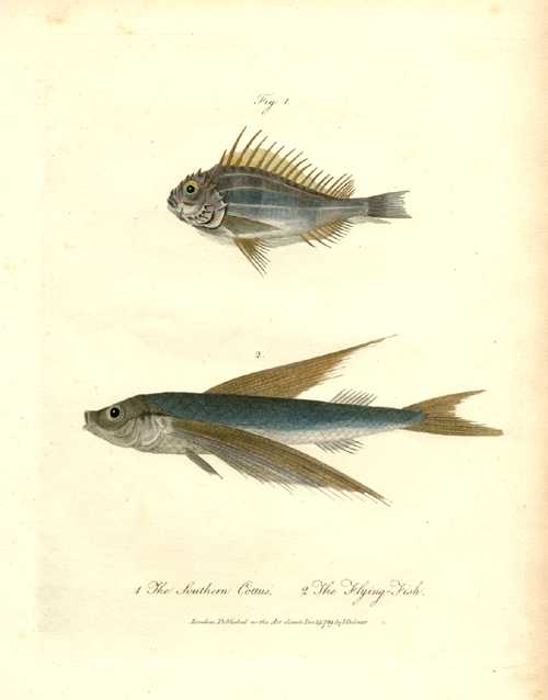 Australian fish engraving. Flying Fish & Southern Cottus. John White, c1790