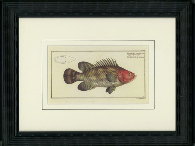 Small fish print, in black frame. Holocentre of Surinam.