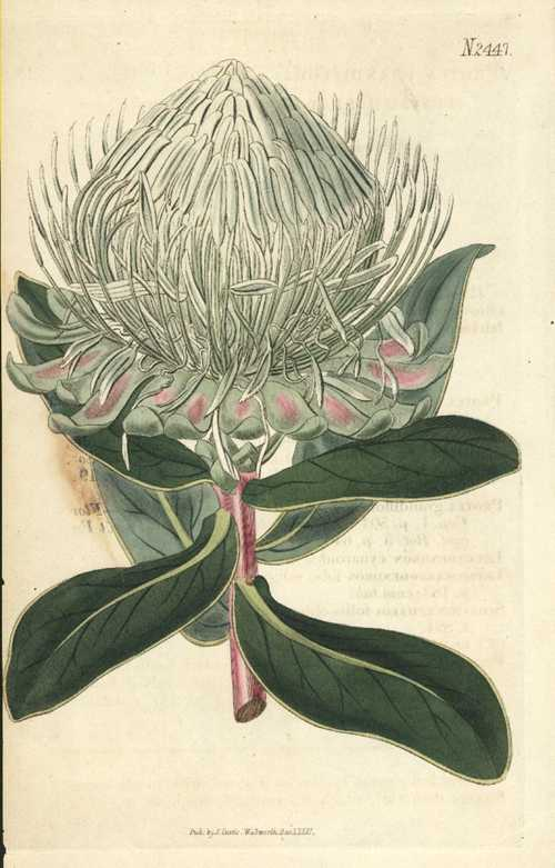 Protea grandiflora. Broad-leaved Great-flowered Protea engraving c1823