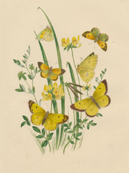 Life-cycle of Butterflies antique print