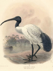 Beautiful Sacred Ibis