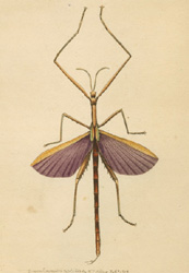 Violet-winged Stick Insect