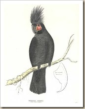 Aust.Diggles.Palm Cockatoo
