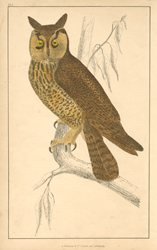 Long-Eared Owl c1848