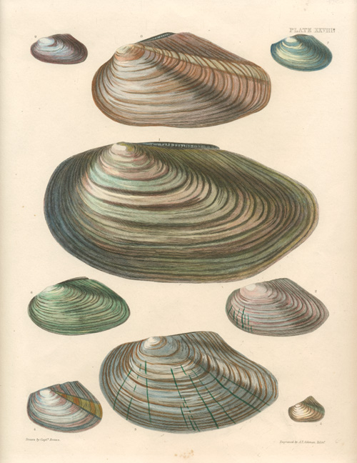 Captain Brown Bivalve Mollusc Shells engraving c1845.
