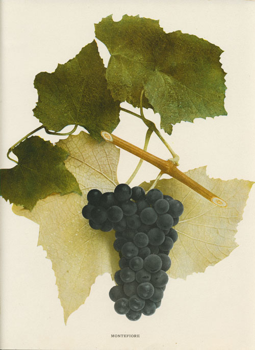 Montefiore Grapes on branch. Hendrick lithograph c1908.