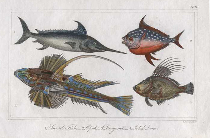 Sword Fish, Opah, Dragonet, John Dory fish engraving c1822.