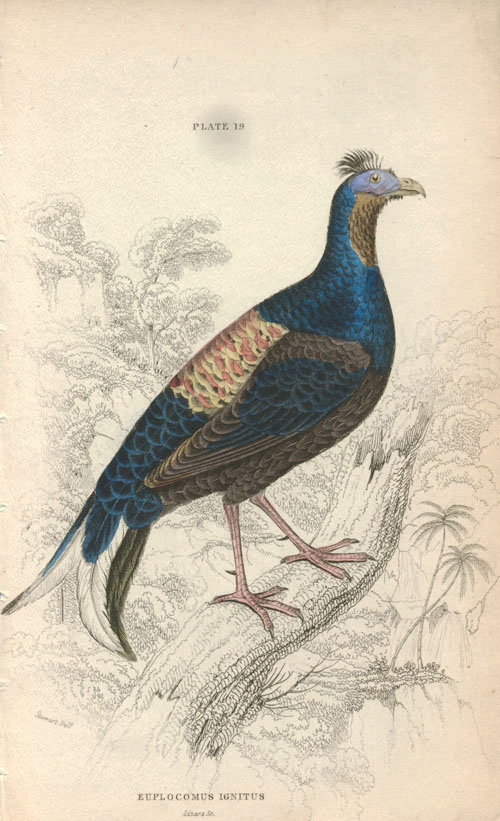 Lizars Fire-backed Pheasant, Euplocomus ignitus, Macartney Cock, c1835