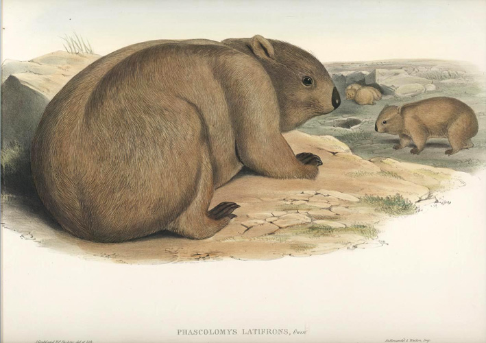 John Gould Broad-fronted Wombat, Phascolomys Latifrons. Mammals of Australia c1863