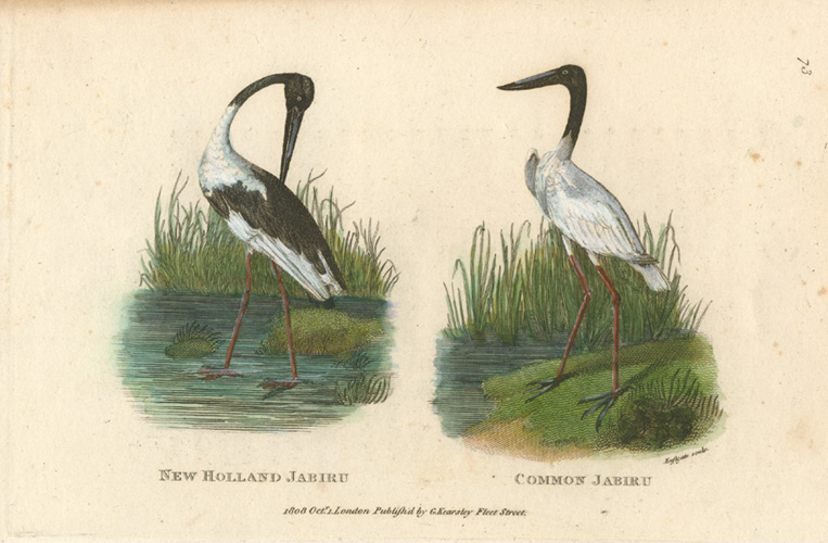 Jabirus: New Holland Jabiru, Common Jabiru. George Shaw c1808.