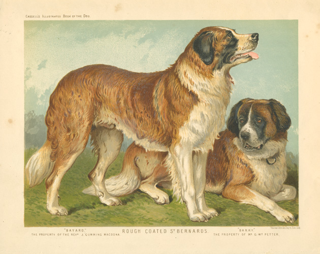 "Rough-coated St. Bernards ""Bayard"" and ""Barry"" c1881."