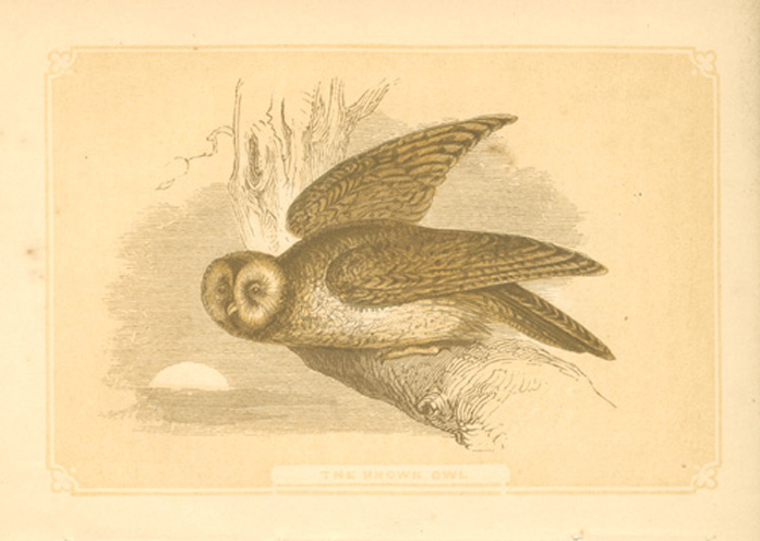 The Brown Owl. Small antique print, Bicknell c1860.