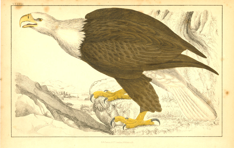 Goldsmith engraving of a Bald Eagle c1848.