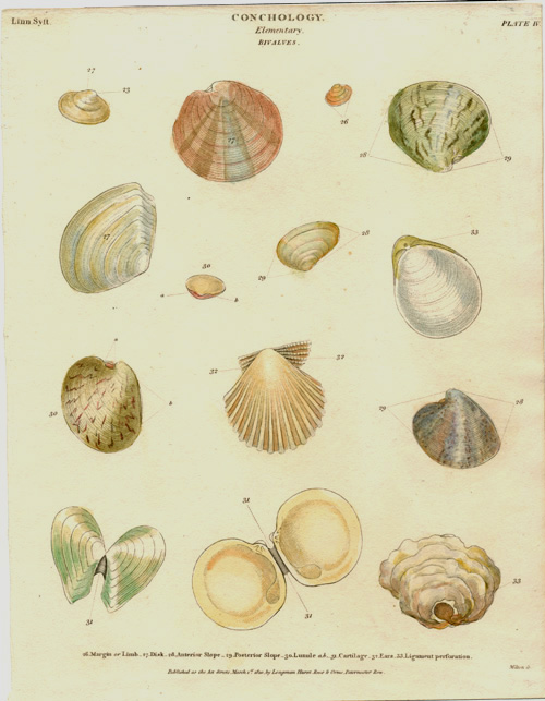 Conchology. Elementary Bivalves, with differentiation. Milton engraving