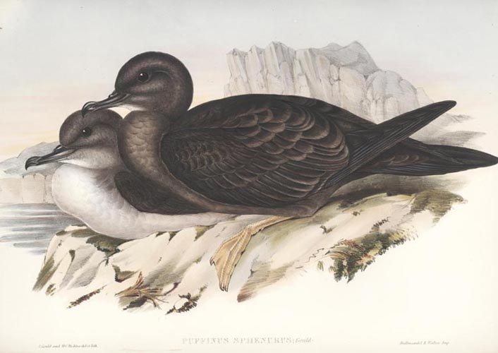 Gould Wedge-tailed Petrel, Puffinus sphenurus lithograph c1848.