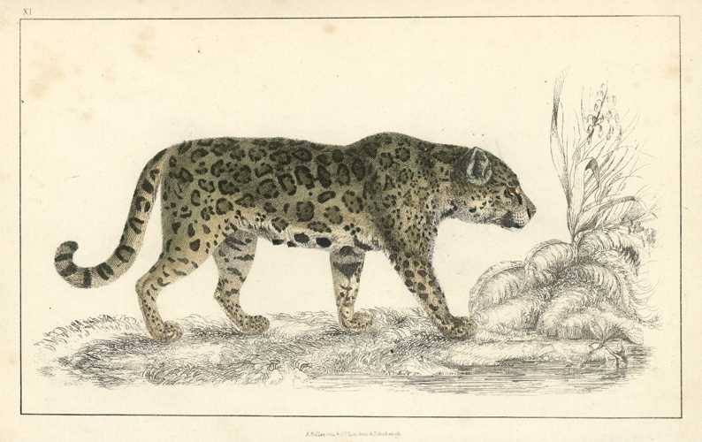 Leopard antique print. Beautiful hand-colored engraving. Oliver Goldsmith, c1848.