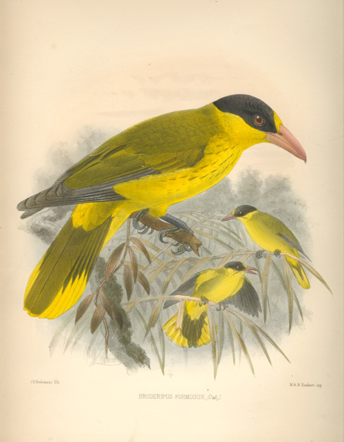 Keulemans Broderipus formosus, Yellow Orioles lithograph c1878.