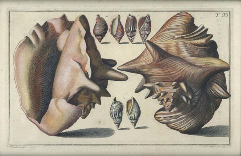 Gualtieri antique print of molluscs engraved c1742 (hand-coloured).