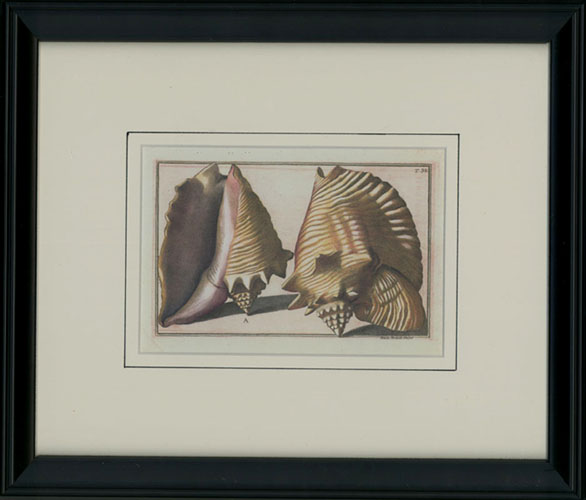 Framed small shells print. Little conservation-framed Shells.