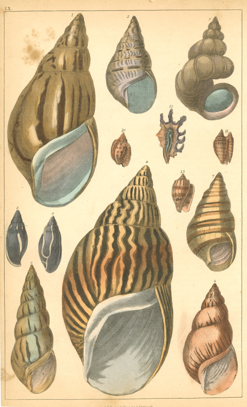 Oliver Goldsmith Seashells antique hand-coloured engraving c1852.