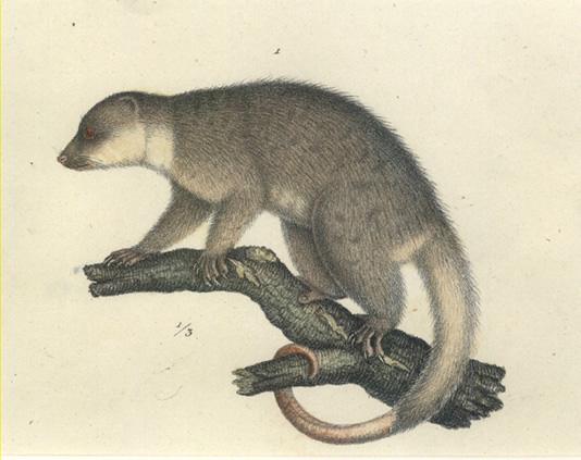 Ringtailed Possum. 1/3 size. Joseph Brodtmann hand-coloured lithograph c1860.