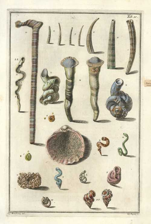 Elongated Cone Shells. Gualtieri Conchology Plate 10 c1742