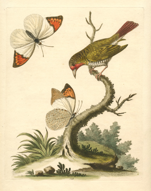 George Edwards hand-coloured copperplate, etched and engraved c1750.