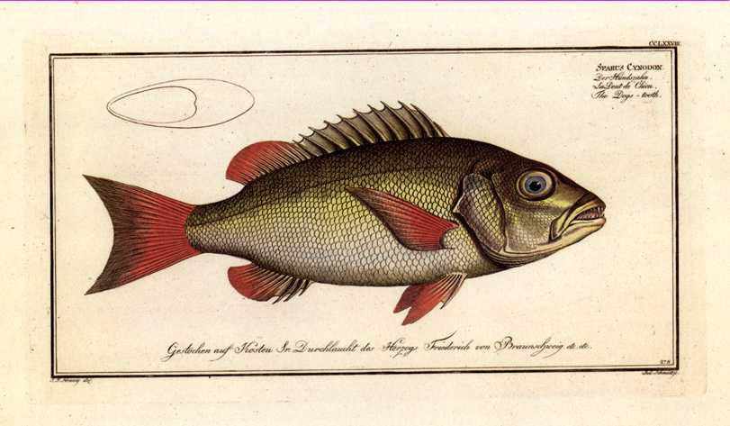 Marcus Bloch Fish print. Dogs Tooth, Sparus Cynodon.
