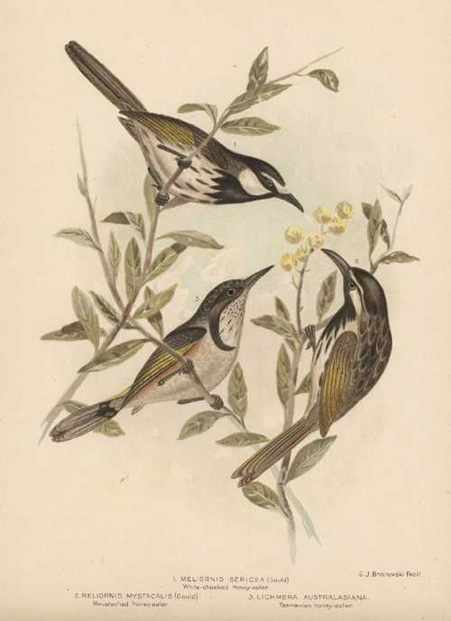 Broinowski bird lithograph. Australian Honey-eaters. Antique print circa 1890