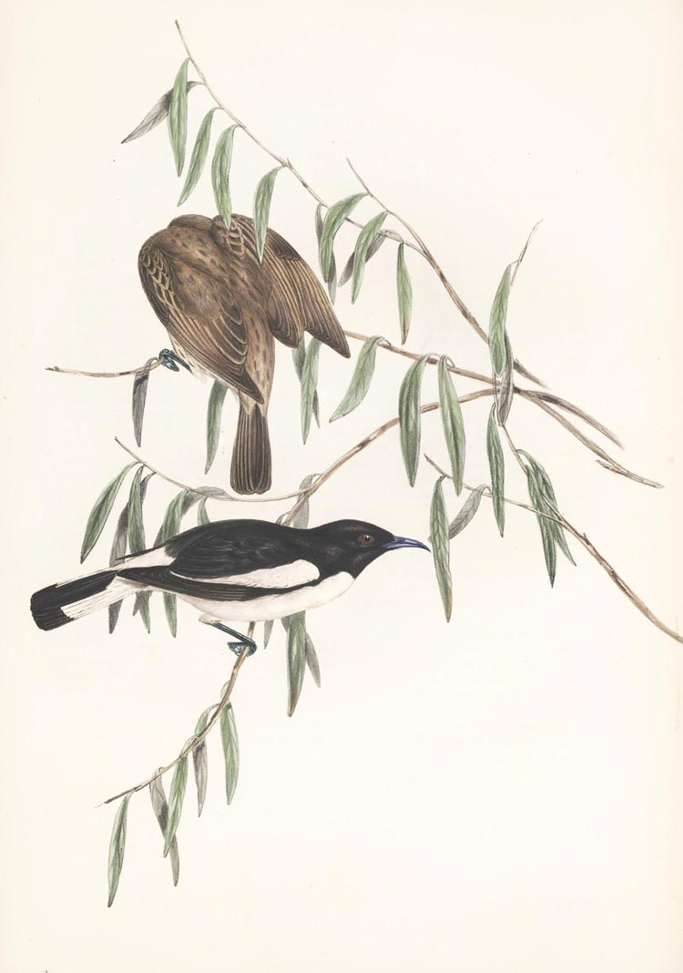 John Gould Honeyeaters antique print, Melicophila picata, Pied Honey-eaters c1848.