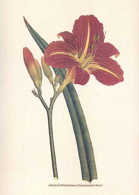Heritage Editions Tawny Red Day Lily, Hemerocallis Fulva.